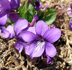 243px-purpleflower_violet